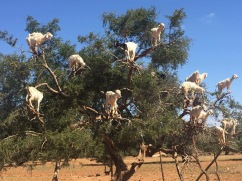 Chèvres sur l'arganier